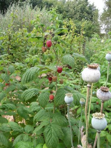 Poppy seed heads in the raspberry bed