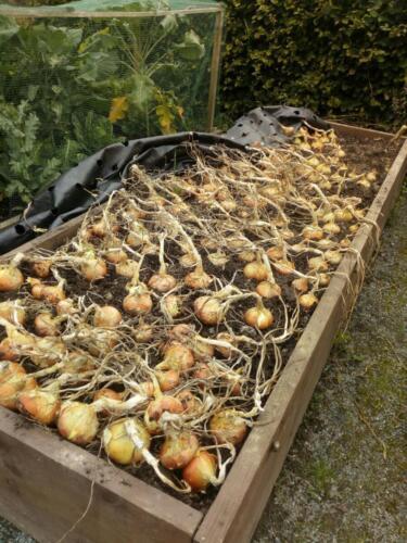The onion crop